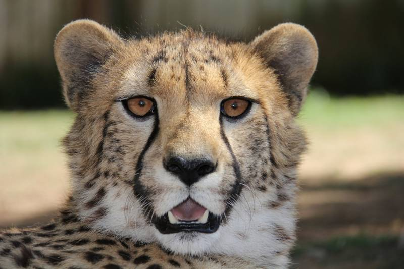 Cheetah face close-up
